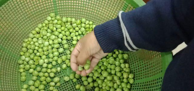 Peas Shelling (11)